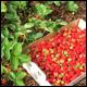 Summer strawberry season is short but so sweet