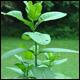 More milkweed = more monarch butterflies