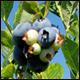 Peak blueberry picking even during pandemic