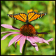 Long live the monarch - the butterfly!