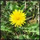 Dandelion is a dandy weed - and food